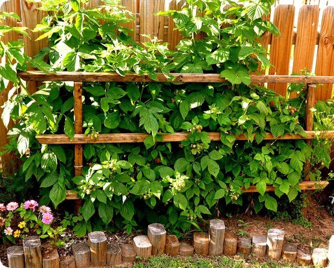 Способы защитить участок от разрастания малины