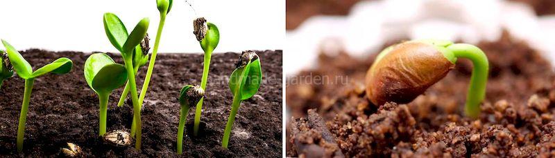 Проверка всхожести семян