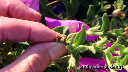Как продлить цветение петунии