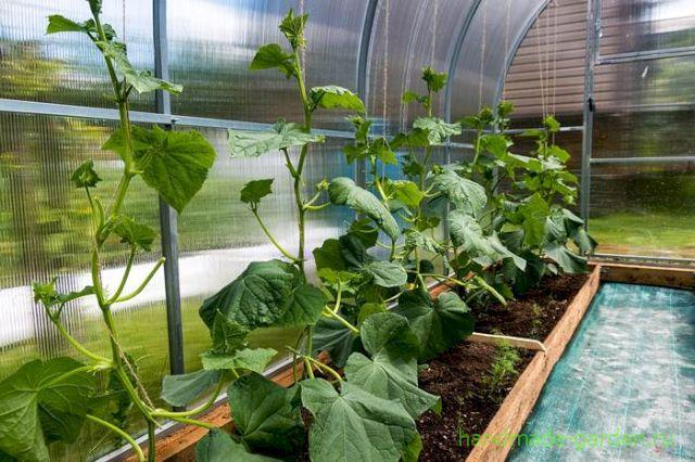 Как посадить огурцы в июле в теплицу