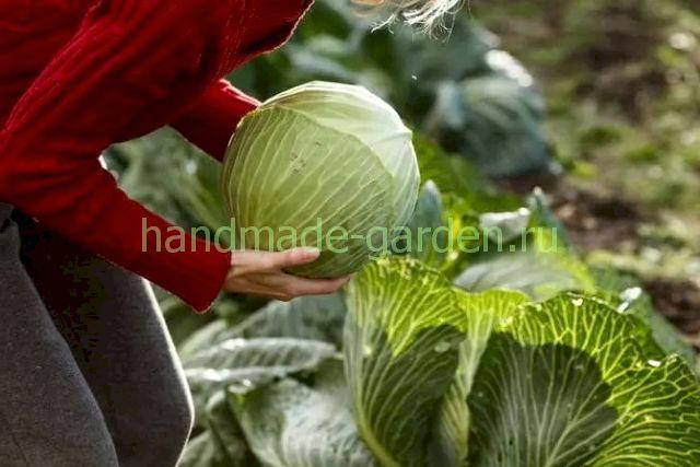 Как правильно убирать капусту с грядки на хранение