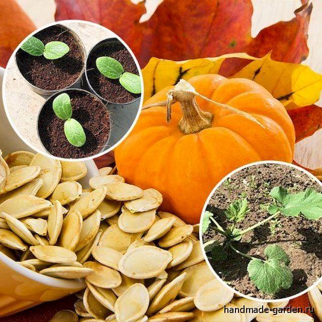 Секреты выращивания тыквы