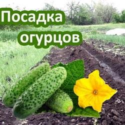 Как посадить огурцы в июле
