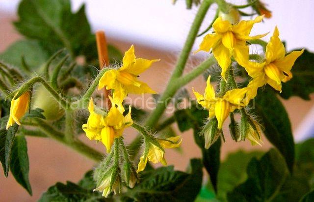 Как только томаты начнут цвести, кустикам нужно обеспечить как можно больше микро и макроэлементов