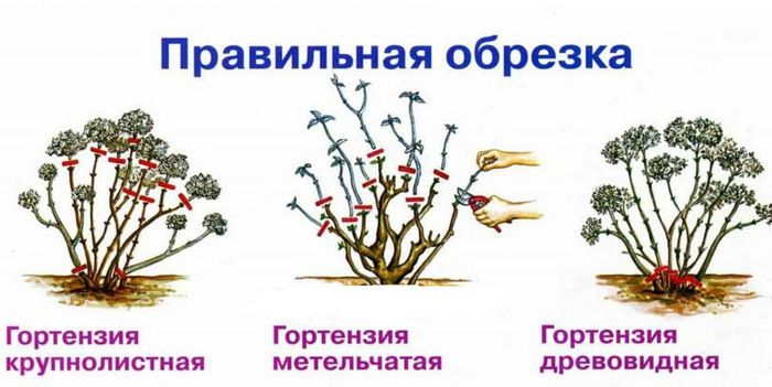 Пересадка и посадка гортензии осенью