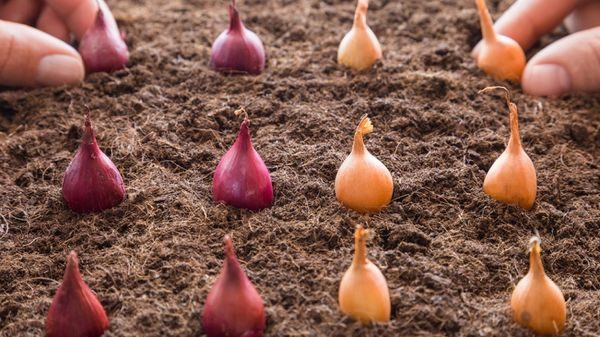 Когда сажают лук в октябре?