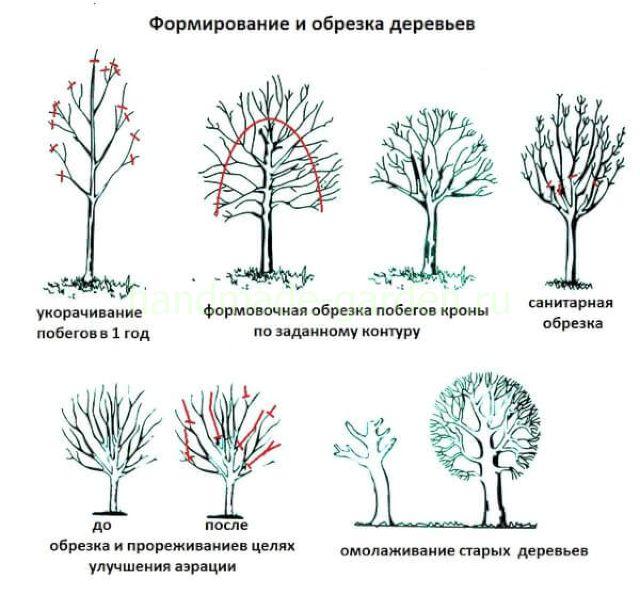 Осенняя обрезка молодых яблоневых деревьев