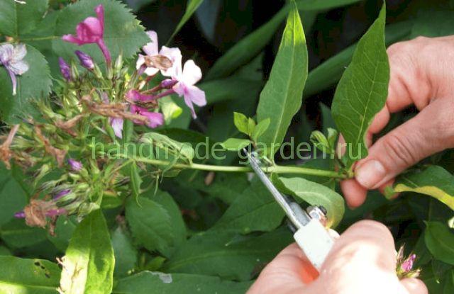 Как обрезать флоксы в сентябре после цветения