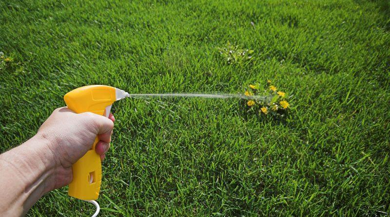 Как очистить газон от одуванчиков