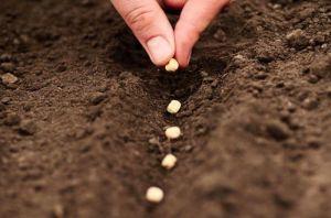 когда садить семена чеснока