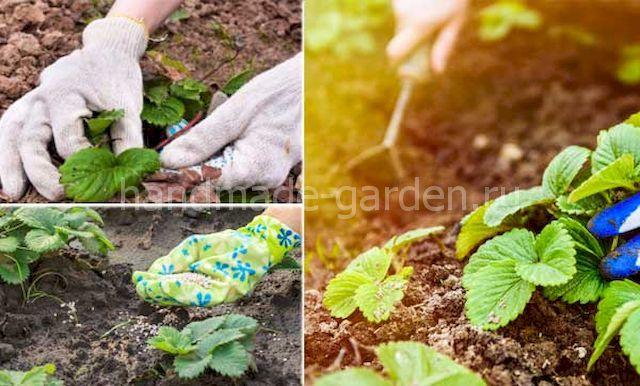 как привести в порядок грядки клубники весной