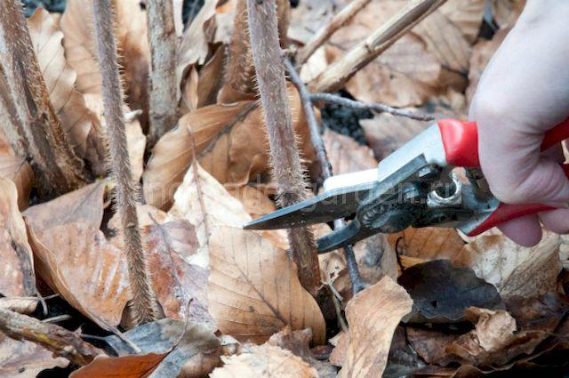 Как начать подготовку крыжовника к зиме?