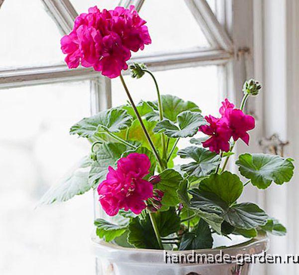 При правильной подкормке герань будет радовать вас красивыми цветами