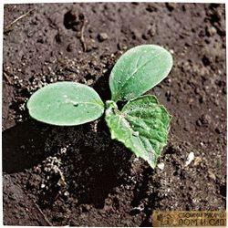выращивание рассады огурцов в опилках