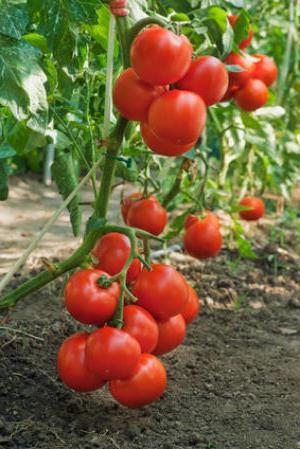 Как вырастить томаты в открытом грунте