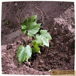 посадка винограда че…
