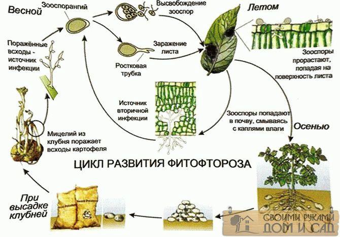 цикл развития фитофтороза картофеля