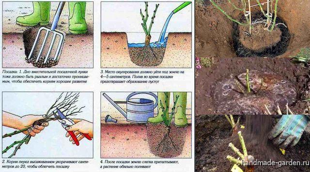 Как правильно подготовить почву к посадке роз