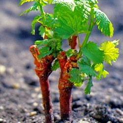 Когда открывать виноград после зимы