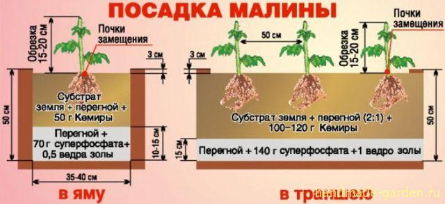 Что такое посадка малины в траншею?