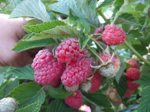 ягода Таруса