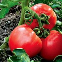 повысить урожай томатов