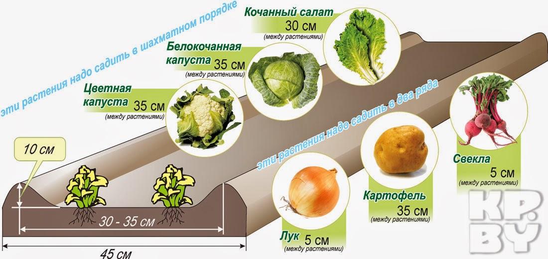 Расположение лунок для выращивания картофеля по методу Митлайдера