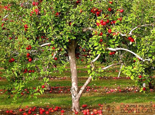уход за яблонями вес…
