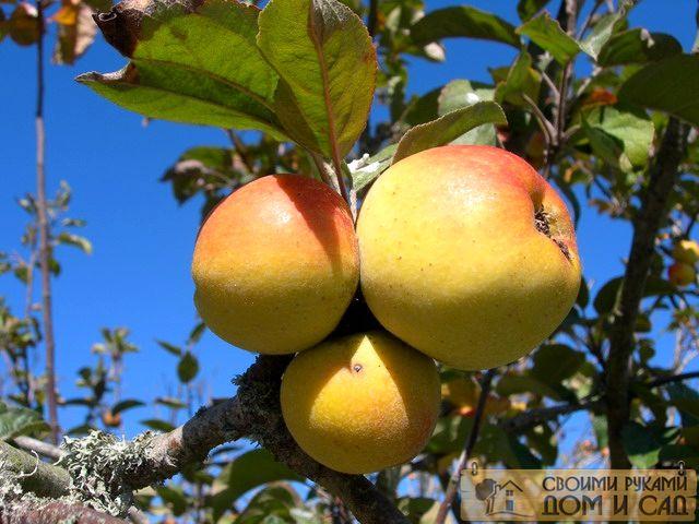 чем опрыскивать ябло…