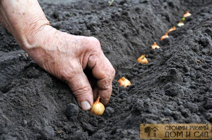 как сажать лук севок