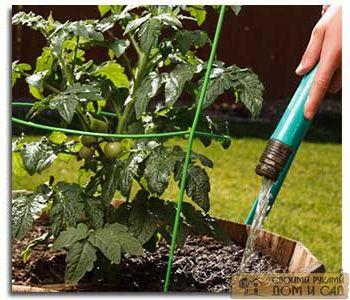 как правильно поливать рассаду помидор