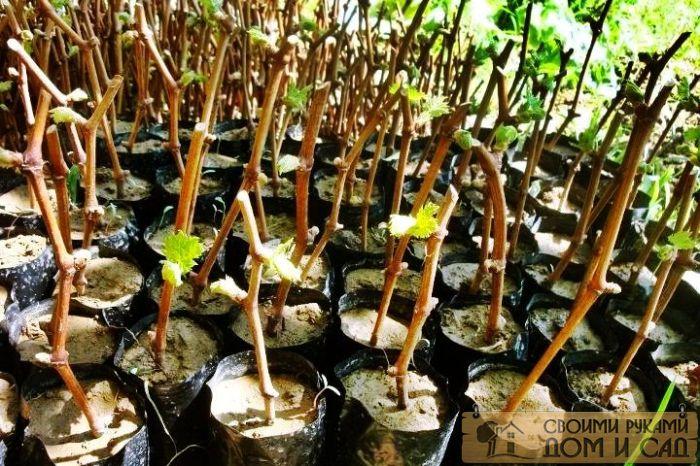 Виноградная лоза весной