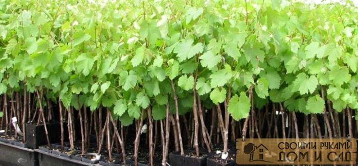у корня виноградной лозы