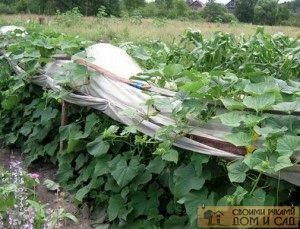 Варианты выращивания огурцов в открытом грунте