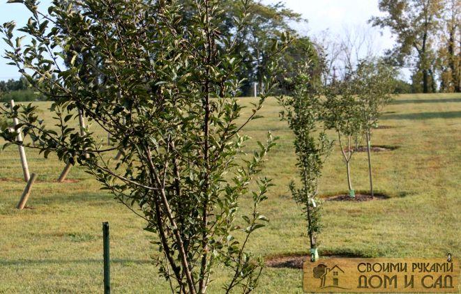 какие деревья лучше сажать осенью