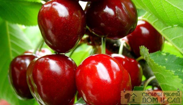 сорт вишни чудо вишня