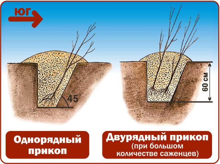 Хранение саженцев зимой в прикопе
