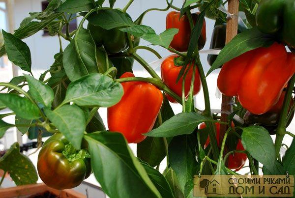 как подготовить семена перца к посеву