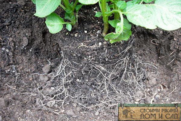 посадка картофеля по митлайдеру фото