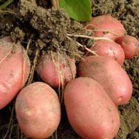 картофель на узких грядах