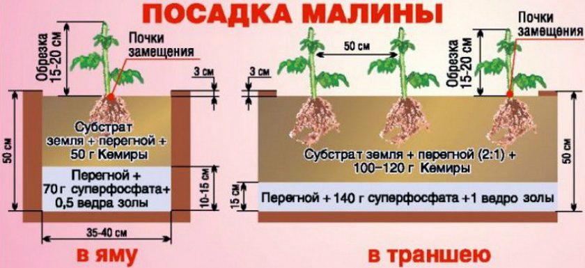 сроки посадки малины весной