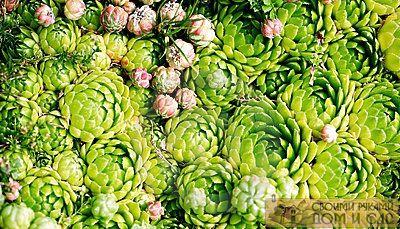 растение каменный цв…