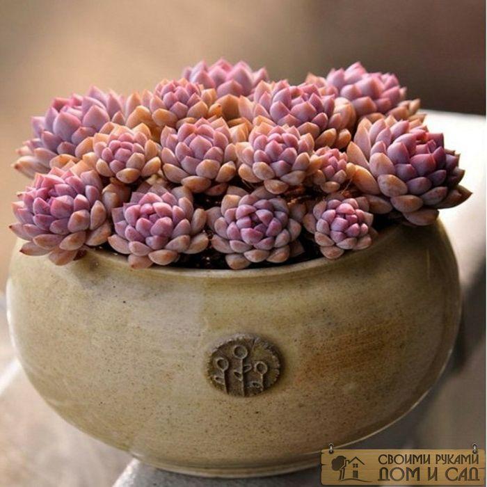 каменный цветок раст…