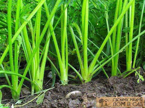 как сажать морковь чтобы не прореживать