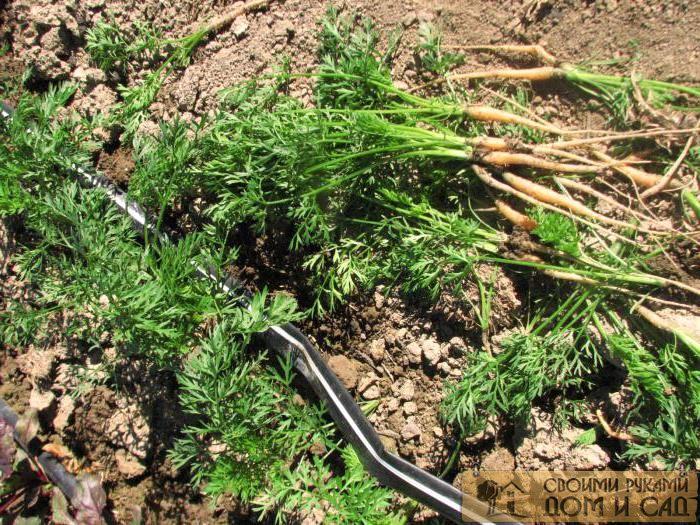 как сеять морковь чтобы не прореживать