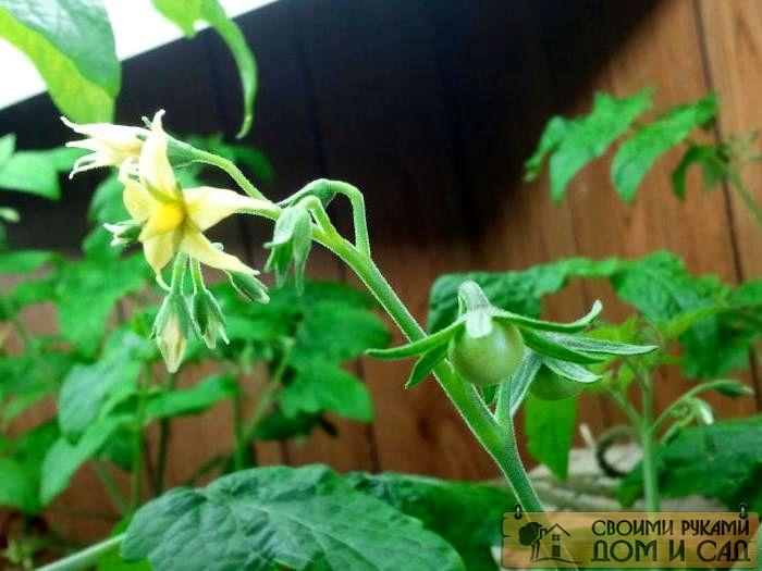 у помидор опадают цветы в теплице