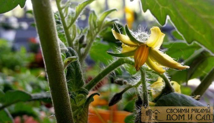 желтеют и опадают цветы у помидор