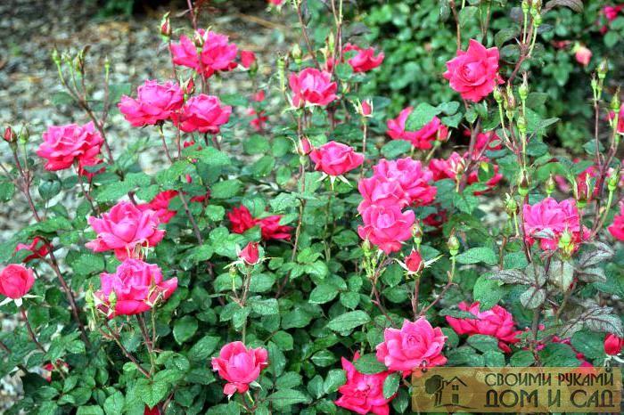 розы почему не цветут