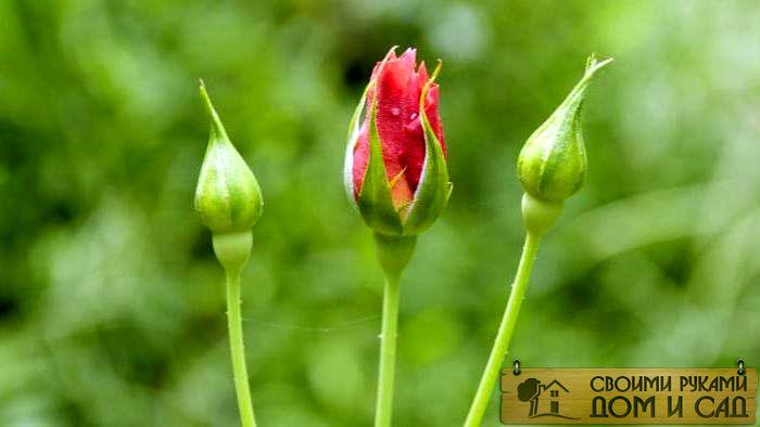 почему не цветут розы второй год