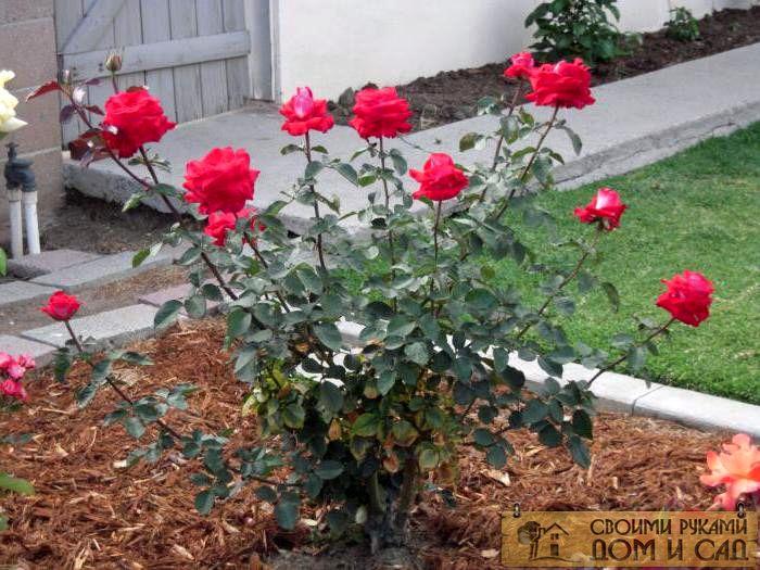 почему не цветет кустовая роза